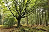 Forêt de Brocéliande : Hêtre de Ponthus à 15km de l'hôtel le Roi Arthur @BOELLE-Yvon